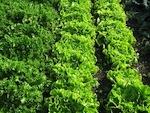 Des légumes résistants aux ravageurs et maladies