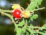 Morelle de Balbis : semis, culture et récolte