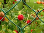 Plantation des petits fruits rouges