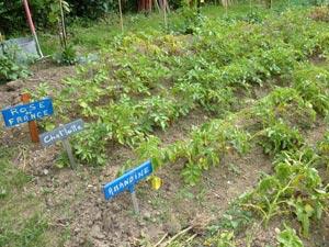 Pommes de terre buttées en rang
