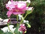 Supprimer les fleurs fanées d'un rosier : quand ? comment ?