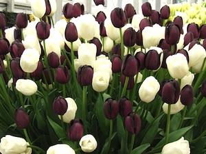 Tulipes : noir et blanc