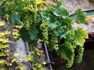 comment planter vigne contre un mur
