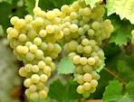 Des variétés de vigne résistantes aux maladies