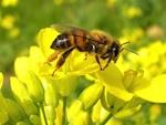 Autorisation du Cruiser : les apiculteurs en colère