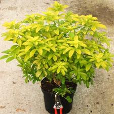 Haie arbustes contraste formes balcon tout - Oranger du mexique choisya ternata ...