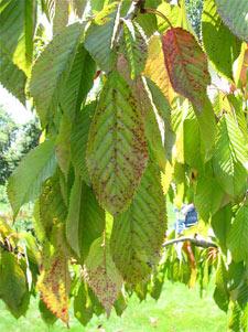 Coryneum sur feuilles de cerisier