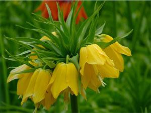 Fritillaria imperialis jaune