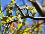 Un jardin des pollens pour anticiper les pics allergiques