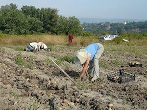 Jardins liens tout - Recolte des pommes de terre ...