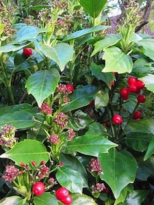 Aucuba japonica 'Rozannie' en fleurs
