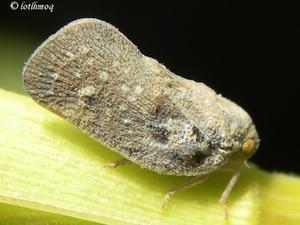 Cicadelle : symptômes et moyens de lutte