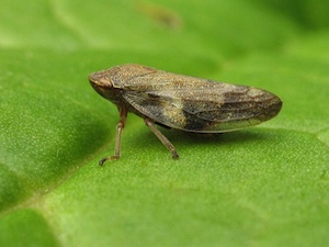 Philaenus spumarus - Cicadelle écumeuse