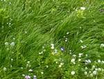 Une pelouse naturelle