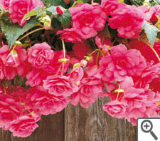 Begonia fountain rose