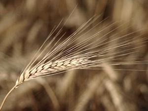 Agriculteurs : ressemer sa propre récolte sera taxé ou interdit