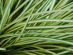 Carex oshimensis 'Evergold' - Feuilles