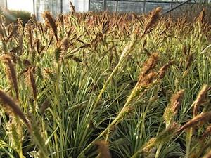 Carex oshimensis 'Evergold' - Floraison