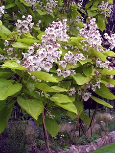 Catalpa - fleurs