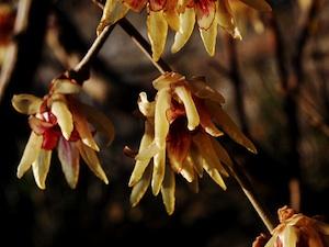 Chimonanthus praecox var. grandiflorus