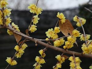 Chimonanthus praecox var. luteus