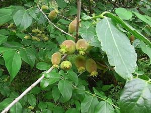 Chimonanthus praecox var. luteus - Fruits