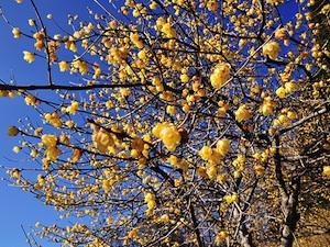 Chimonanthe odorant