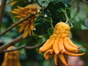 Citrus medica 'Main de Bouddha' - Fruit