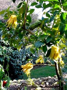 Citrus medica 'Main de Bouddha'