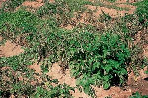 Dégâts des nématodes sur un champ de patates