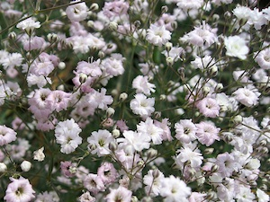 Gypsophila repens 'Baby's Breath'