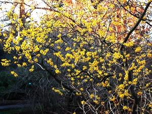Hamamelis en fleurs