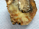 Nématode de la pomme de terre