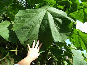 Paulownia - feuilles