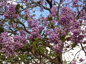 Paulownia - fleurs