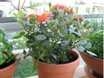 Des roses miniatures au balcon