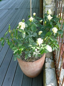 Roses miniatures sur balcons et terrasses - Mini rosier en pot ...