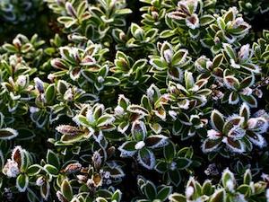 Véronique arbustive - feuillage panaché - hiver