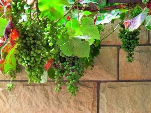 Du raisin sur votre balcon