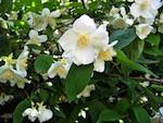 Acheter et planter un arbuste en fleurs