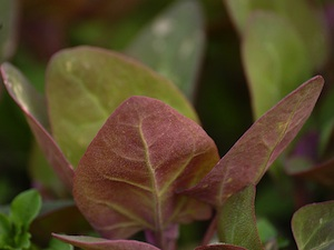 Atriplex hortensis var. rubra