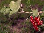 Bouturage, marcottage : multiplication des arbustes à petits fruits