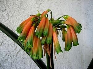 Clivia caulescens