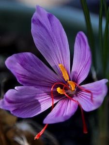 Crocus sativus - fleur