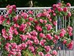 Emera® : disponible en rosier grimpant