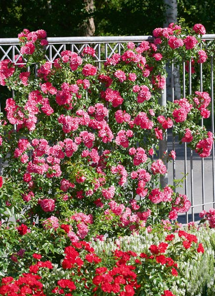Emera disponible en rosier grimpant for Quand rempoter un laurier rose