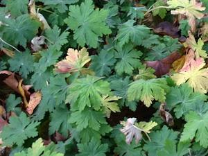 Géranium macrorrhizum - hiver