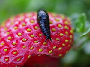 Limace sur fraise