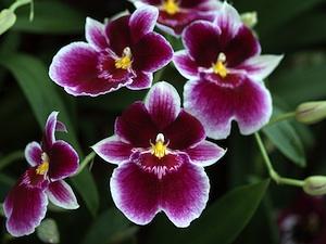 Orchidée : Miltonia, Miltoniopsis