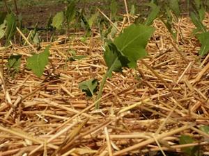 Paillage de jeunes plants de chou rave
